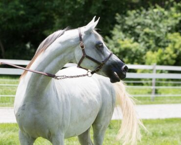 8 Fascinating Facts about Arabian Horses!