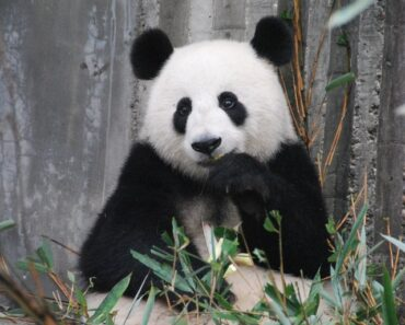 What do PANDAS eat? All You would know about Pandas