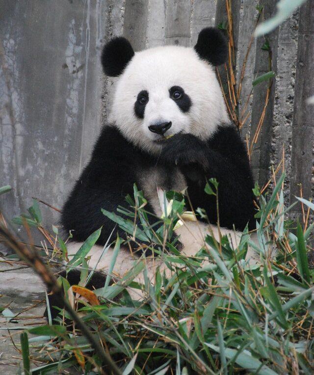 What do PANDAS eat? All regarding the giant panda Diet!