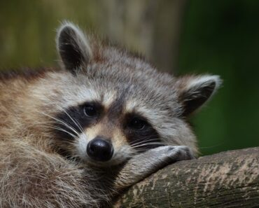 Is It LEGAL to stay RACCOONS AS PETS