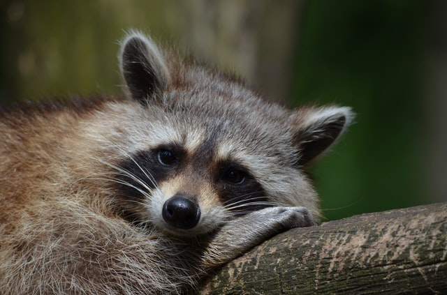 Is It LEGAL to stay RACCOONS AS PETS, What CARE Do They Need?