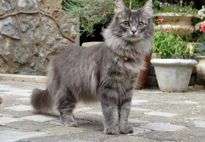 MOST EXPENSIVE CAT - Norwegian Forest Cat