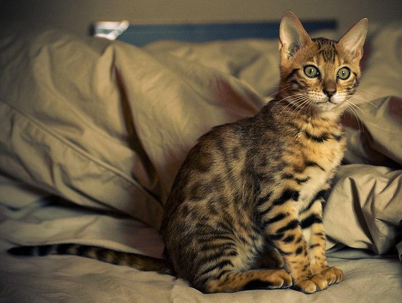 bengal cat allergies