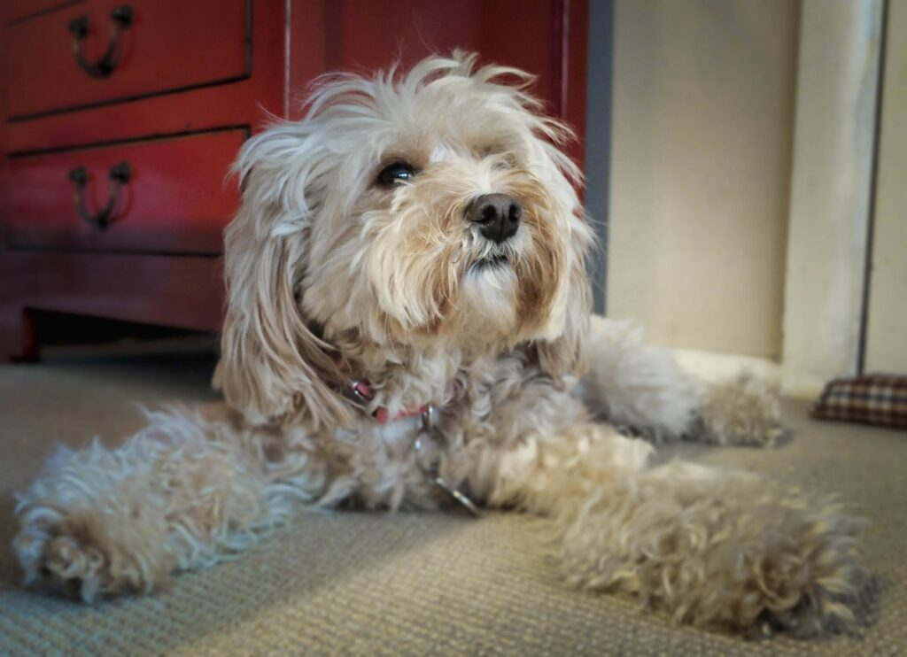 dandie dinmont puppies for sale