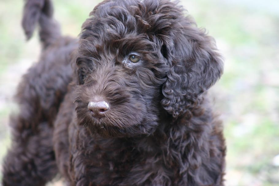 portuguese water dog size