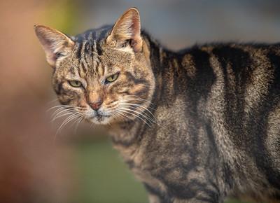 sokoke cat breeders